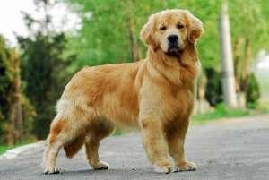 金毛犬怎么养?